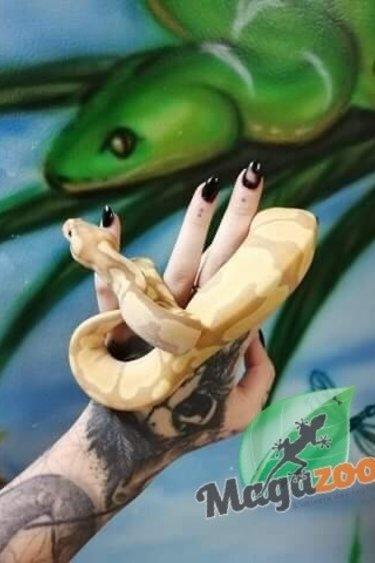 Magazoo Python Royal Banana Enchi Bébé Mâle