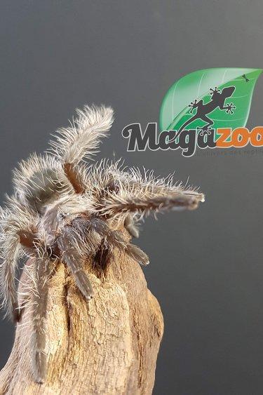 Mygale frisée Juvénile/Tliltocatl albopilosus