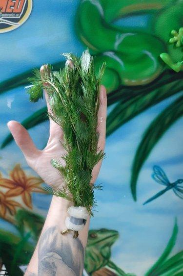 Magazoo Plante Cabomba verte ( Cabomba cardiniana)