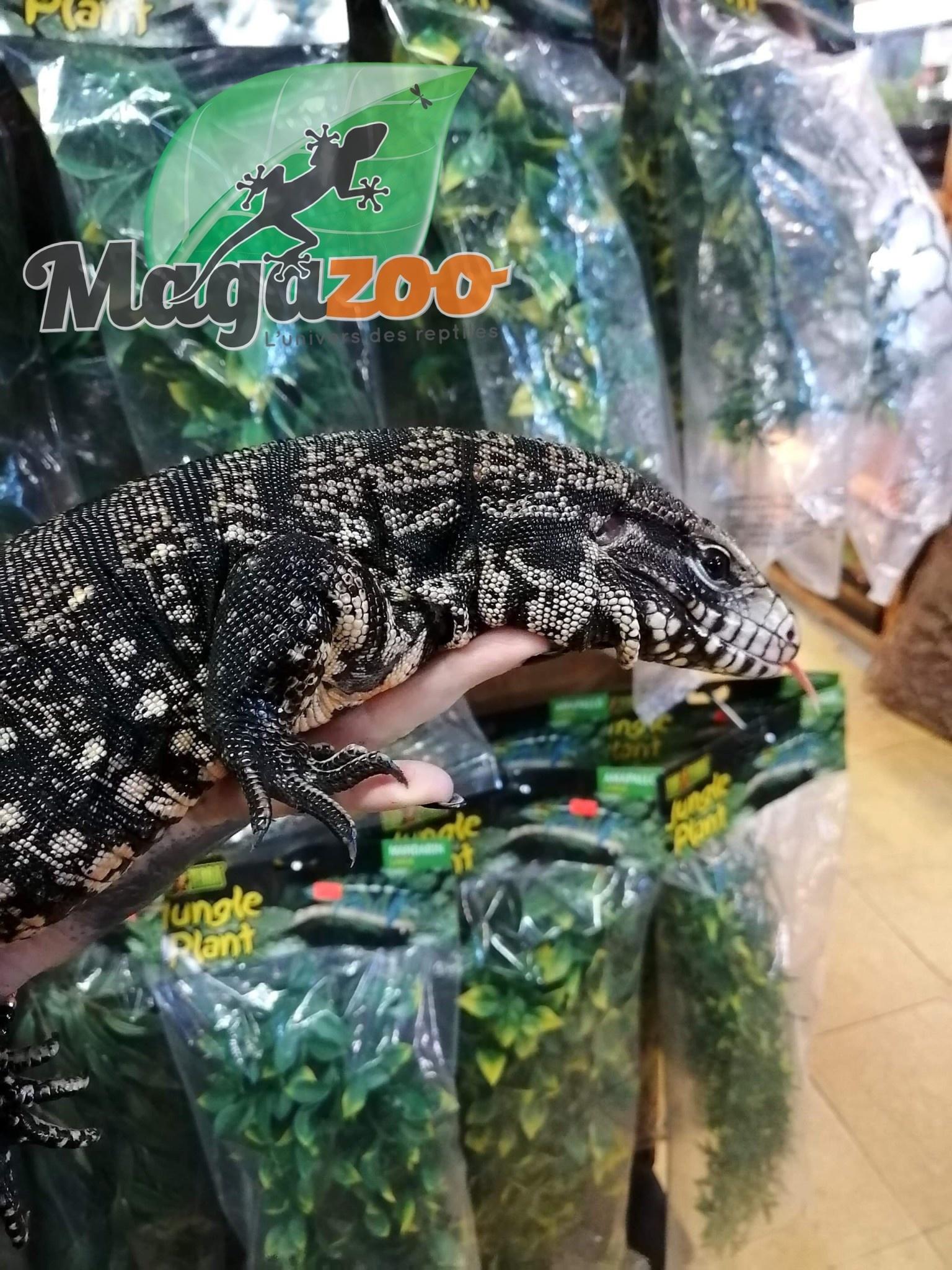 Magazoo Tégu Noir et Blanc d'Argentine femelle