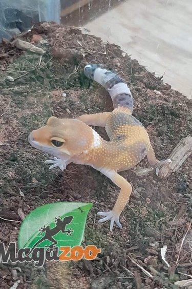 Magazoo Gecko léopard Raptor Femelle (Né le 22 Mai 2021)