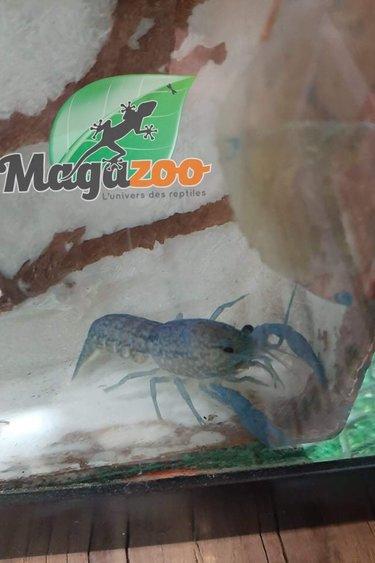 Magazoo Écrevisse Marbrée Femelle Auto-reproductive (gros)
