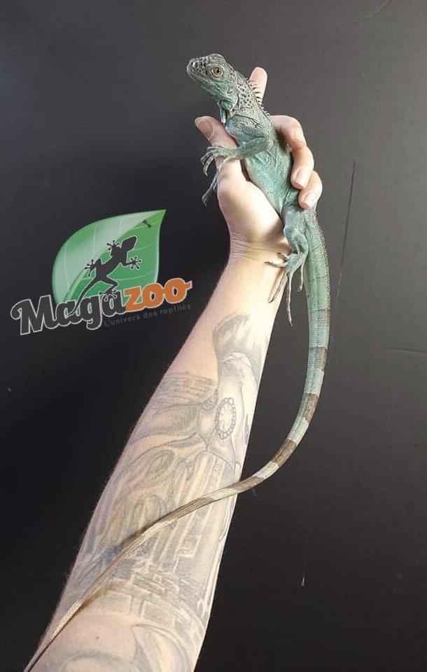 Magazoo Iguane Bleu juvénile Mâle
