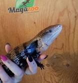 Magazoo Scinque à langue bleue   (Halmahera)