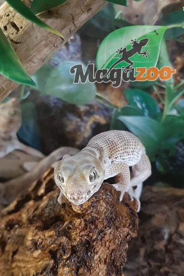 Magazoo Gecko aux yeux de grenouille (Mâle)