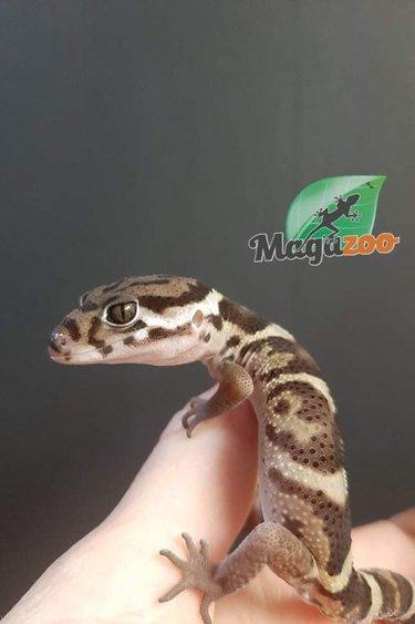 Magazoo Gecko à bandes du Nicaragua Mâle