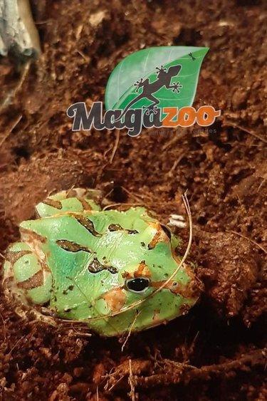 Magazoo Grenouille cornue d'Argentine (Pacman) Green tricolore