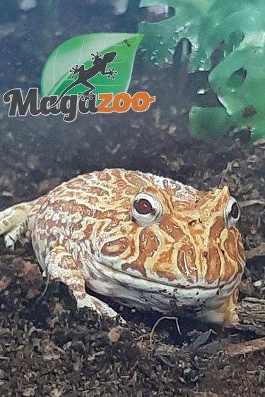 Magazoo Grenouille cornue d'Argentine (Pacman) Albino Strawberry