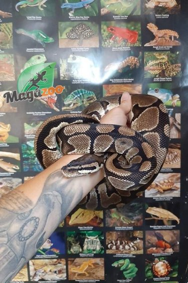 Magazoo Python royal Régulier (Mâle 7 ans)