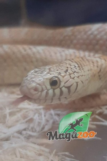 Magazoo Serpent roi de Brooks Hypo Mâle (3 ans)