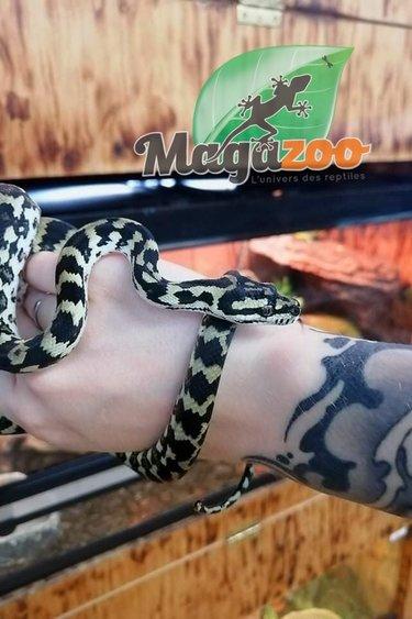 Magazoo Python tapis jungle femelle 2020