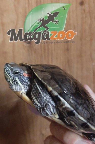 Magazoo Tortue à Oreilles Rouges  Mâle Adoption - 2ième chance