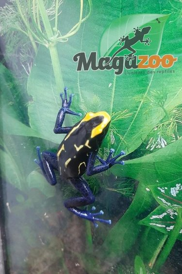 Magazoo Dendrobate Cobalt femelle adulte