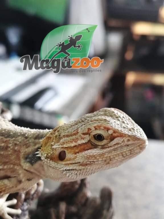 Magazoo Dragon Barbu Bébé 21
