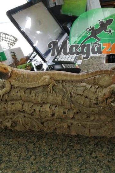 Magazoo Dragon Barbu orange Leatherback Jaune Mâle 1ans 1/2