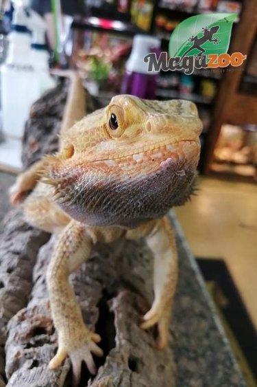 Magazoo Dragon barbu Hypo  Mâle Adulte