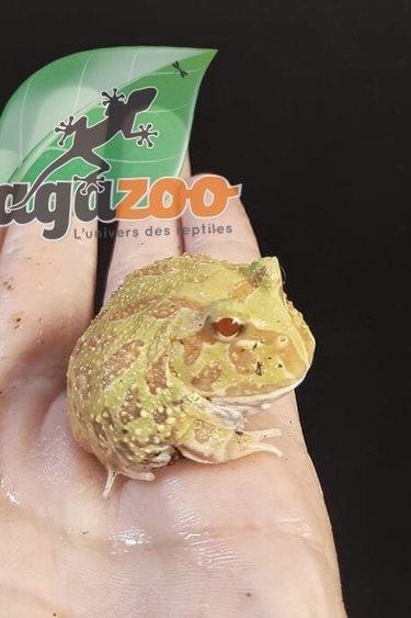 Magazoo Grenouille cornue d'Argentine albino (pac man)