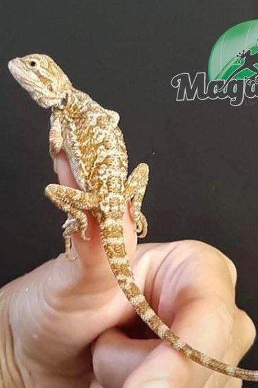 Magazoo Dragon Barbu Bébé 9