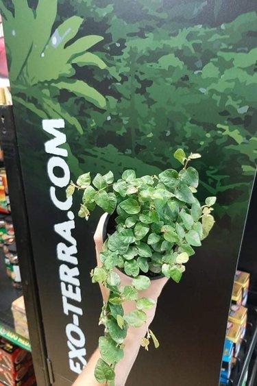 Magazoo Pilea nummulariifolia