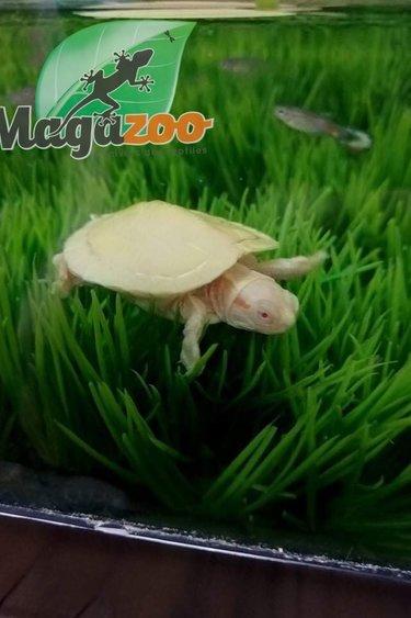Magazoo Tortue à Oreilles Rouges Bébé Albino