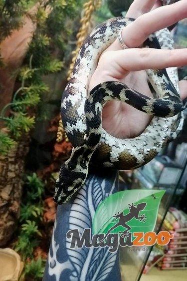 Magazoo Python tapis Irian Jaya Femelle