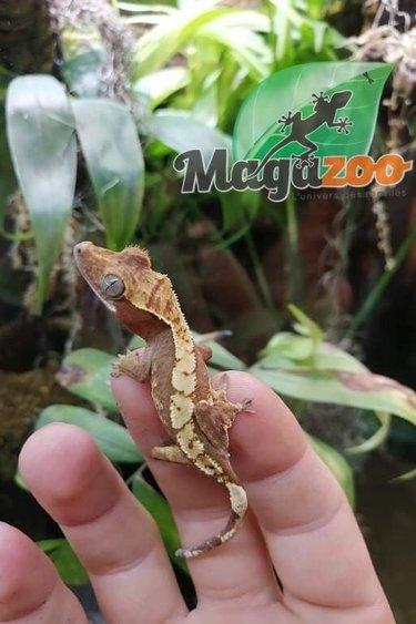 Magazoo Gecko à Crête Red Harlequin  #2