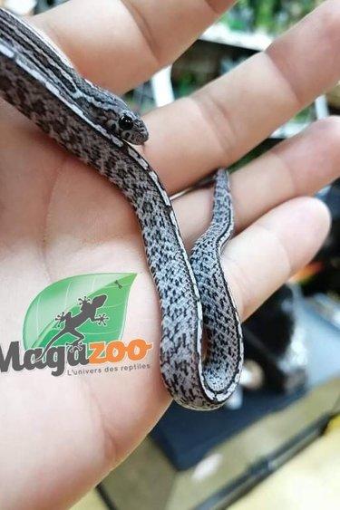 Magazoo Serpent des blés Tessera Charcoal (Bébé Mâle 1)