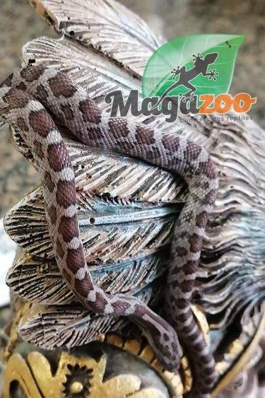 Magazoo Serpent des blés Cinder (Bébé Mâle 3)