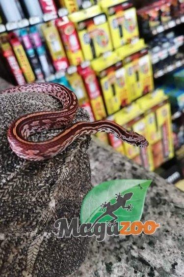 Magazoo Serpent des blés Tessera classique (Bébé Mâle 1)