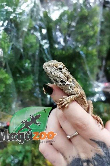 Magazoo Dragon Barbu Bébé 24