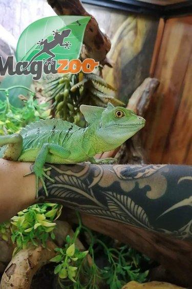 Magazoo Basilic vert Mâle