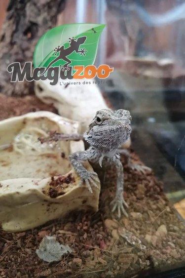 Magazoo Dragon Barbu Bébé 16