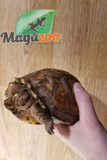 Magazoo Tortue boîte de l'Est Femelle  adulte  #2