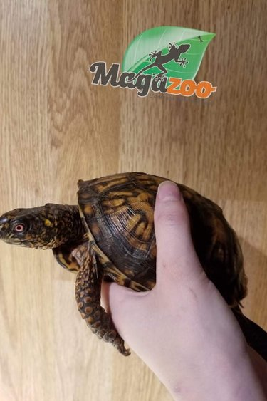 Magazoo Tortue boîte de l'Est  Mâle adulte  #2