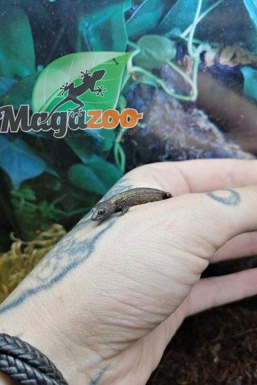 Magazoo Scinque crocodile à casque de Schidt's