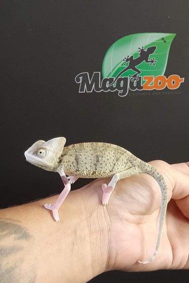 Magazoo Caméléon casqué du Yemen  High White translucide mâle