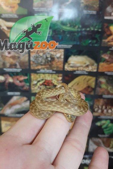 Magazoo Serpent aux yeux de chats de Madagascar Femelle