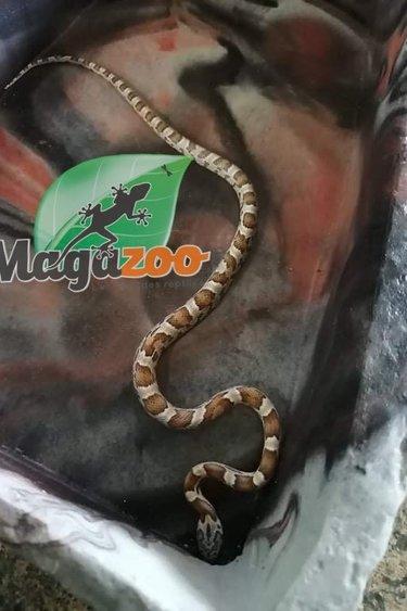 Magazoo Serpent des Blés Sunkissed caramel