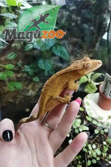 Magazoo Gecko à Crête Tigre Femelle Juvénile
