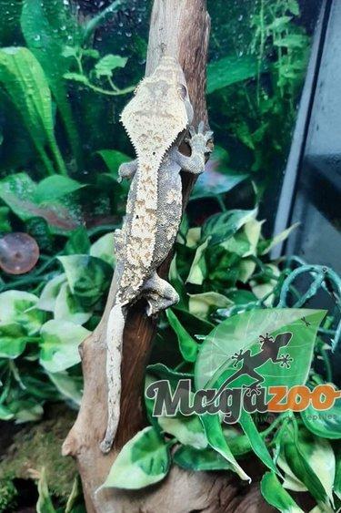 Gecko à Crête Flame Juvénile Mâle