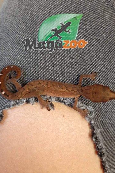 Magazoo Gecko aux yeux de chat né en captivité juillet 2021