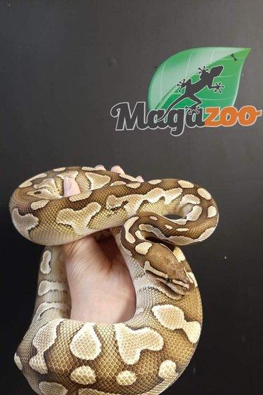 Magazoo python royal lesser double het enhancer clown  mâle