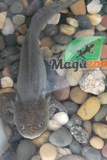 Magazoo Axolotl Mexicain Mélanique