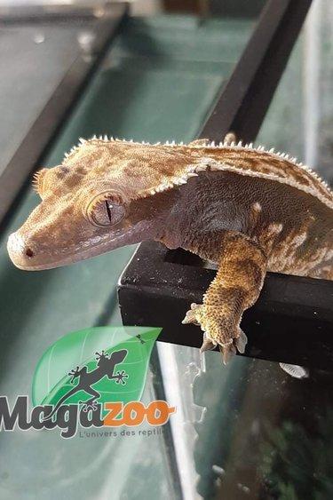Magazoo Gecko à crête Harlequin Pinstripe  (Femelle) (pas de queue )