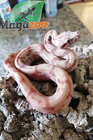 Magazoo Boa Central Super Hypo (Bébé Femelle #1)