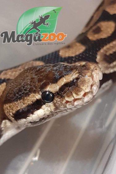 Magazoo Python royal régulier (Femelle 7 ans)/ Adoption - 2ième chance