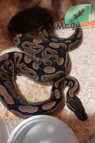 Magazoo Python royal régulier (4 ans) / Adoption 2ième chance