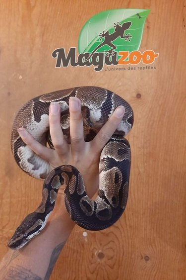 Magazoo Python royal régulier Adulte / Adoption - 2ième chance