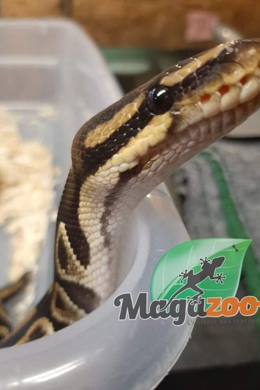 Magazoo Python royal régulier (Mâle 2 ans)/ Adoption - 2ième chance