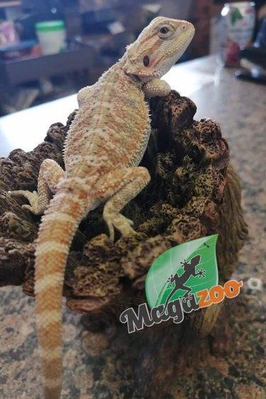 Magazoo Dragon barbu Hypo citrus Tiger, Blue bar, Het transclucide, Het zéro Mâle